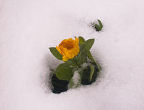 Flower surrounded by  snow. Beautiful country flower after snow storm Royalty Free Stock Photos