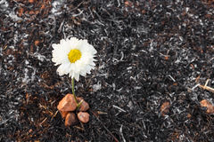 Flower survive on ash of burnt grass Royalty Free Stock Photography