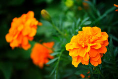 Flower Tagetes royalty free stock image