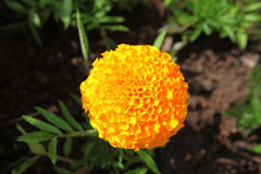 Flower Tagetes (marigold), yellow on the background soil. Blooming Tagetes Stock Photos