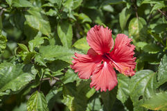 Flower in Tahiti. Red flower taken in tahiti,  french polynesia Stock Image