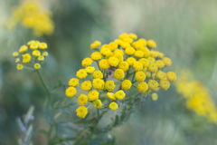 The flower of tansy. Flowers small, regular, yellow, tubular, collected in the umbrella royalty free stock images