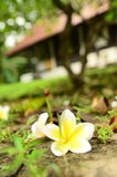 Flower temple tree Royalty Free Stock Photos