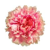 Flower Terry peon painted in semi colors isolated on white backg royalty free stock photo