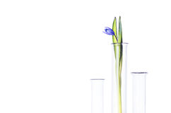 Flower in a test tube isolated on white. Flower (bluebells) in a test tube isolated on white background. Scientific Experiment. Blue snowdrop flowers in a glass Stock Photos