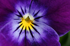 Flower texture. Closeup of a Pansy stock images