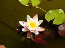 Flower in tha water Stock Photos