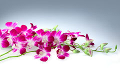 Flower thai orchids Stock Image