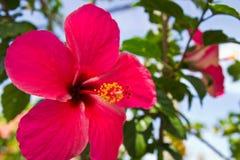 Flower.thai rosso Immagini Stock