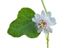 Flower from Thailand on white background Royalty Free Stock Photo