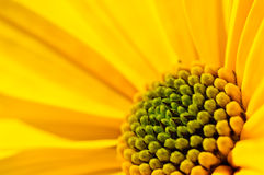 Flower of a thinleaf sunflower Royalty Free Stock Photos
