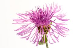 Flower of a thistle stock photography