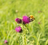 Flower of thistle Royalty Free Stock Photography