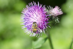 A flower thistle with a bee. Beautiful summer flower on natural green background. Close-up.  Royalty Free Stock Images