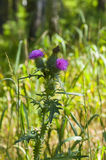 Flower. Thistle flowers on the summer meadow Royalty Free Stock Photography