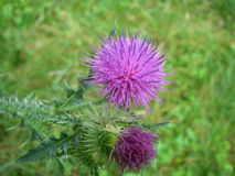 A flower of a thistle stock image