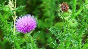 Flower thistle stock footage