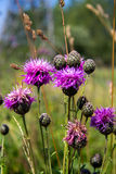 Flower thistles. Blooming burdock in a meadow on a sunny summer day Royalty Free Stock Photo