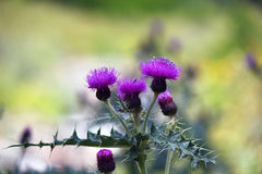 Flower thistles. In the foreground stock image