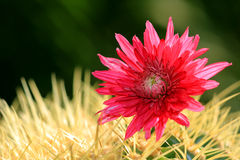 Flower and thorns Royalty Free Stock Images