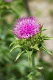Flower of thorny plant silybum marianum Stock Photo