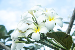 Flower. Three beautiful white flowers around well Stock Images
