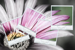 Flower in three polaroids. Composition with a group of polaroids photos restoring the color on a black and white background Stock Photography