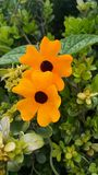 FLOWER THUNBERGIA ALATA. POET EYE PLANT,FLOWER ORANGE FLOWER ENREDADERA bindweed Stock Photography