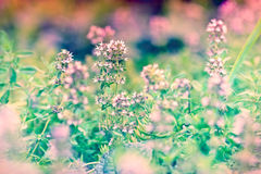Flower of thyme Stock Photography