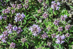 Flower thyme in the nature Stock Photo