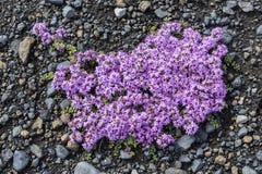 Flower of Thymus Praecox Royalty Free Stock Photo