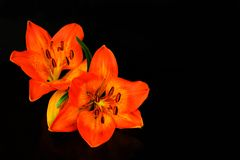 Flower tiger lily, orange lily on a black background royalty free stock photography