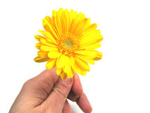 Flower time. A hand with a yellow gerbera royalty free stock photo