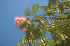 Flower to acacias. Rose flower to acacias on the background of the blue sky Royalty Free Stock Images