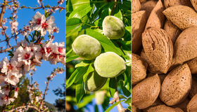 From flower to nuts. Growth of almond. Royalty Free Stock Image