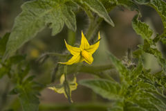 Flower tomatoes. Yellow flower tomatoes to green leaves Stock Photos