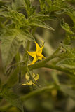 Flower tomatoes. Yellow flower tomatoes to green leaves Royalty Free Stock Photo