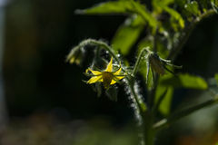 A flower of tomatoes. Royalty Free Stock Photography