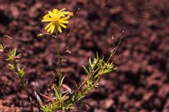 Isolated Flower. A flower, on top of volcanic rock royalty free stock photo