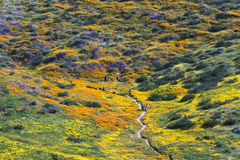 Flower Trail. Wildflower blooming along the flower trail, Diamond Valley Lake, CA stock photos