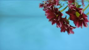 Flower in transparent water on a blue background. Bordeaux flower in clear water on a blue background stock video footage