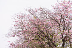 Flower tree blooming and white sky, pink trumpet Royalty Free Stock Photography