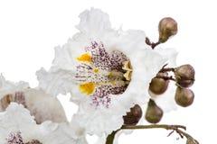 Flower of tree Catalpa, lat. Catalpa speciosa, isolated on white. Background Stock Photos