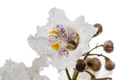 Flower of tree Catalpa, lat. Catalpa speciosa, isolated on white. Background Stock Image