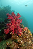 Flower Tree Coral - Red Orange Umbellulifera Stock Image