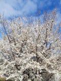 Blossom Flower Tree on blue sky royalty free stock photo