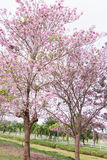 Flower tree in garden, pink trumpet tree. Flower tree in the garden, pink trumpet tree Royalty Free Stock Image