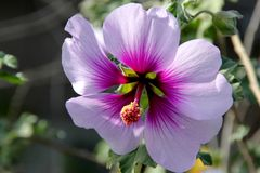 Flower of Tree Mallow, Lavatera maritima. With pale lavender to white petals with purple base and  reddish violet veins, and long staminal column in center Royalty Free Stock Photography