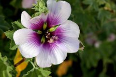 Flower of Tree Mallow, Lavatera maritima. With pale lavender to white petals with purple base and  reddish violet veins, and long staminal column in center Royalty Free Stock Photos