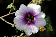 Flower of Tree Mallow, Lavatera maritima. With pale lavender to white petals with purple base and  reddish violet veins, and long staminal column in center Royalty Free Stock Images